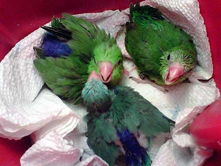 Parrotlet Breeders