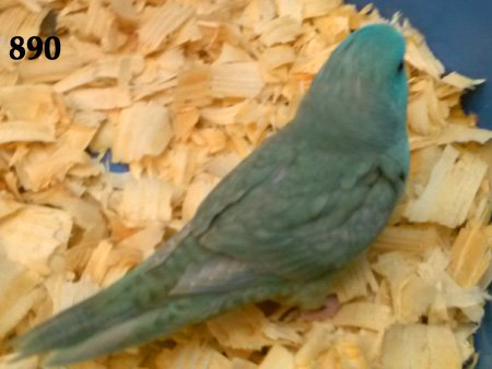 Lineolated Parakeets For Sale