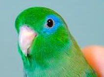 Spectacled Parrotlet - Google