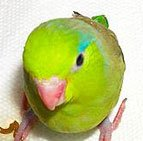 parrotlet babies for sale