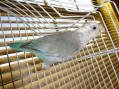 Blue Faded Pied Parrotlet