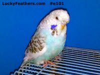 English Show Budgie
