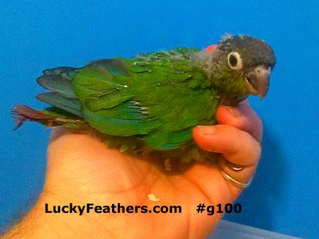 Green Cheeked Conures For Sale