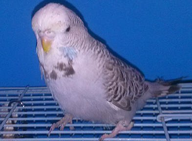 English Budgies For Sale