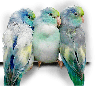 Parrotlet Mutations - Colors Rare