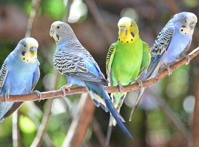 Parrotlet Breeders LuckyFeathers com |