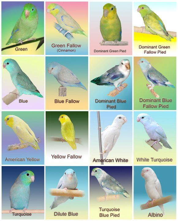 Parrotlet Color Mutations