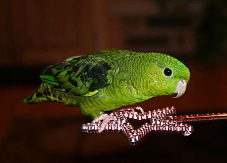 Lineolated Parakeet Bird Breeders