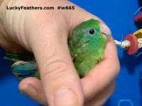 xtremely rare spectacled parrotlet