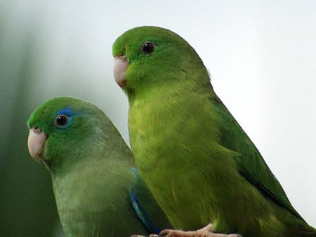 Spectacle Parrotlet - Wikki Public Photo